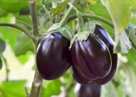 Ripe-eggplant