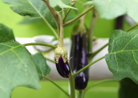 how-to-grow-eggplant-from-seed-2539993-04-77c64ed994fc4e22be5f63ddc3482cb6